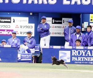 9回表阪神無死一塁、打者梅野のときグラウンドにネコが出没しDeNAベンチ前を疾走(撮影・加藤哉)